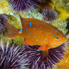 A juvenile garibaldi is observed on a Reef Check dive against the backdrop of an anemone below the waters of the Dana Point State Marine Conservation Area, near Salt Creek Beach. The nonprofit Reef Check records data on underwater ecosystems around the globe. Photo: Michelle Hoalton