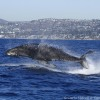 This photo of a young humpback breaching was captured by Carla Mitroff, a naturalist and photographer, on the morning of Nov. 29 aboard the Dana Pride, which runs from Dana Wharf Whale Watching in Dana Point.