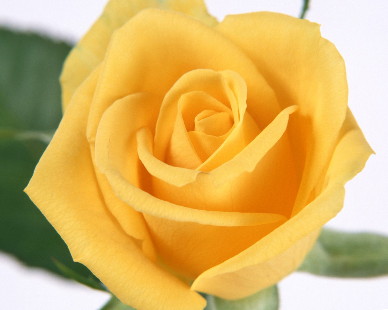 rose -flower-images-free-download-hd-33