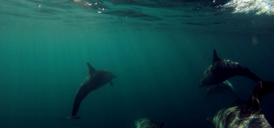 Dana Hills High School student Shaun Phaneuf deployed two GoPro cameras affixed to an 8-foot pole to capture underwater footage during the annual Festival of Whales field trip. This is one of the many shots he captured of common dolphins.