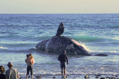 The body of a dead gray whale washed up on the beach at Lower Trestles in San Onofre State Park on Sunday. Photo: Sebastian Mendes