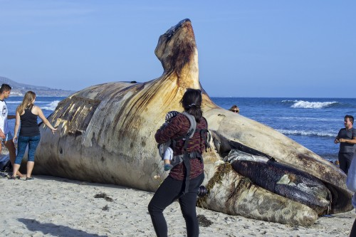 Beachgoers at Lower Trestles check out the dead whale carcass on April 26. The square chunk missing from the body is where NOAA scientists removed a blubber sample for testing. Photo: Sebastian Mendes