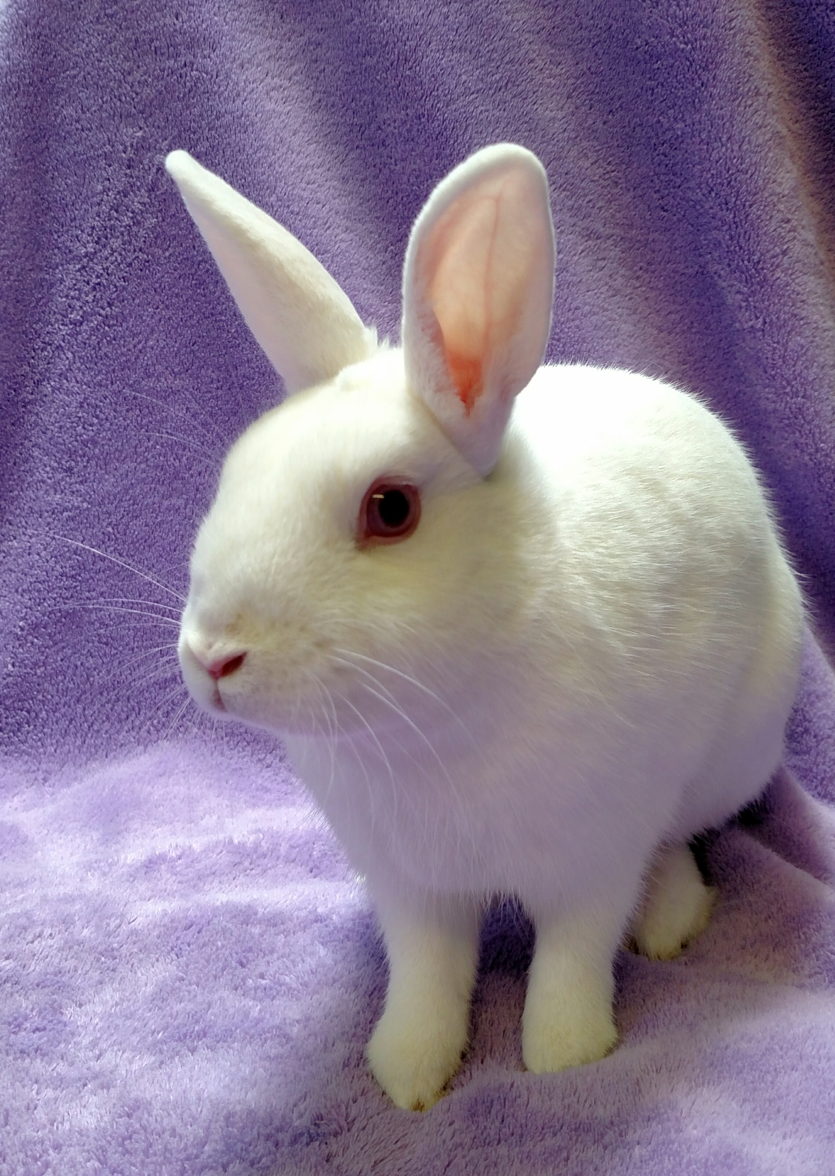 Cecily, is a 1-year-old rabbit looking for a forever home. Photo: Courtesy of the San Clemente/Dana Point