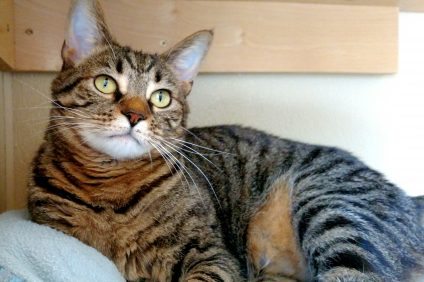 Oink is a 4-year-old cat available at the San Clemente/Dana Point Animal Shelter. Photo: San Clemente/Dana Point Animal Shelter.